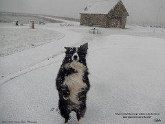 This is Snow place to be out in the cold (ashaconnie) Tags: snow scene funny border collie dog ballywalter ashathestarofcountydown connie kells county down photography