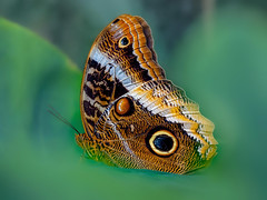 20200108_2131c (novofotoo) Tags: augenfalter botanischergarten butterfly caligoeurilochus edelfalter falter gewöhnlicherbananenfalter insekten lepidoptera nymphalidae schmetterling tagfalter botanicalgarden forestgiantowl insects