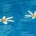 Floating flowers (Bob Duck) Tags: india d300 colors pool nikon blossoms floating swimmingpool