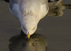 Ring-Billed Gull, drinking from the duck pond. (Ruby 2417) Tags: gull bird wildlife nature drink drinking pond duck napa park kennedy