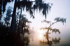 (ernestohemingwayo) Tags: canonef 35mm fujifilm fujicolor florida swamp taxodiumdistichum dawn winter