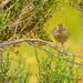 Striated Fieldwren 1DX40406.jpg (alanmcbride1) Tags: westerntreatmentplant victoria alanmcbridephotographerwriter alanmcbridephotographer australia werribeewtp bird striatedfieldwren birds