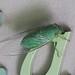 Cicada (John Balcombe) Tags: kaolak thailand