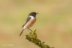 Stonechat - Male 501_9741.jpg (Mobile Lynn) Tags: chatsrelatives nature stonechat birds chat bird fauna passerine saxicolarubicola wildlife godalming england unitedkingdom coth specanimal coth5 ngc npc