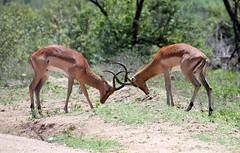 Impalas fighting in Kruger National Park, South Africa (Mikhail & Yana) Tags: aepycerosmelampus impala импала mammal wildlife nature krugernationalpark animal africa southafrica