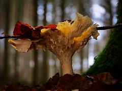 Wunder der Natur (Jens Schröter) Tags: pilz pilze panasonic natur fungi mushroom macro makro nahaufnahme