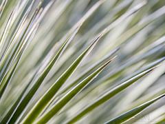 Yucca abstraction (marianna armata) Tags: yucca green spiky plant macro abstract diagonal mariannaarmata