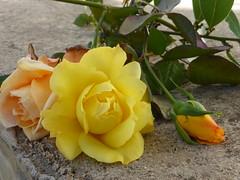 P1090728 (amalia_mar) Tags: roses bouquet flowers flora fiori fleurs closeup orangeyellowthursday nature colorfulnature sundaylights