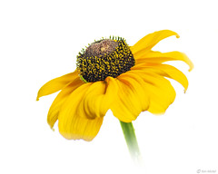 Rudbeckia (Ken Mickel) Tags: beautiful floral flower flowers gloriosadaisy highkeyphotography kenmickelphotography plants rudbeckia whitebackground blossoms botanical closeup nature photography