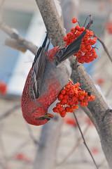 Щур (самец) (marussia1205) Tags: щур птица зима рябина bird winter rowan