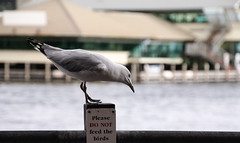 """Take no notice"", said the seagull representative__ (Ardan_Dojan) Tags: seagull ocean waterfront beach fremantle australia travel lunch seaside wildlife bird explore"