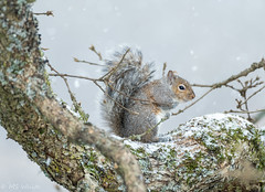 Let it Snow! ...Pic# 3 (Picture-Perfect Pixels) Tags: britishcolumbia vancouverisland saanich garryoaktree nature animal backyard wildlife easterngreysquirrel nikkor200500mm nikonz50