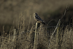 Sitting on the fence (Chris Bainbridge1) Tags: asioflammeus short eared owl perched post afternoon