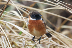 Stonechat (Dougie Edmond) Tags: southayrshire scotland unitedkingdom bird nature wildlife