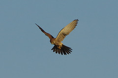 K32P6204a Kestrel, Burwell Fen, December2019 (bobchappell55) Tags: burwellfen cambridgeshire wild bird birdofprey nature wildlife kestrel falcotinnunculus