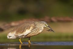 Squacco Heron - Zimanga - South-Africa (wietsej) Tags: squacco heron zimanga southafrica sony a7rii zeiss sal135f18z 13518 sonnar13518za bird