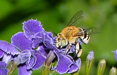 Blue banded bee (jeans_Photos) Tags: westernaustralia swanview garden nativebee hymenoptera bluebandedbee
