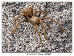 Q: Why did the Tarantula cross the road? (Roland Bogush) Tags: sonyrx100mk7 spider