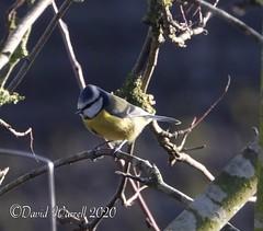Bluetit (David Warrell) Tags: fujixe2 fujixf100400mmf4556rlmoiswr inthegarden closeup bluetit wildlife wildbirds gardenbirds