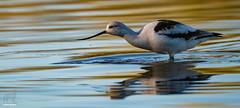 Prowling for invertebrates (Jasper's Human) Tags: americanavocet bird