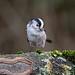 LTTLog02 (explored?) (westoncfoto) Tags: ulleycountrypark birds log feeder perch earlymorning