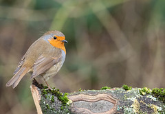 RobinLog01 (westoncfoto) Tags: ulleycountrypark birds log feeder perch earlymorning