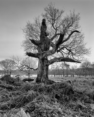 Richmond Park Tree (MKHardyPhotography) Tags: mkhardy london large format 58mm richmond park tree blackandwhite monochrome street 4x5 ilford delta 100 film photo home developed filmisnotdead schneider bw self superangulon xl iso100 negative super angulon