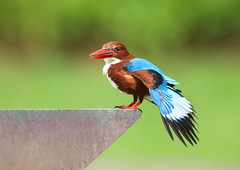 White-throated Kingfisher (ashockenberry) Tags: wildlife wildlifephotography wild wilderness eco exotic ecosystem reserve rainforest travel tourism singapore botanical gardens whitethroated perch nature naturephotography natural native beautiful beauty bird birding beak black birdwatching blue vacation game habitat tropical ashleyhockenberryphotography