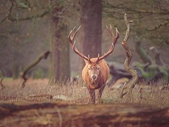 Sunday I took willow for a walk around Bushy Park. It was late in the morning and there were lots of idiots out with their smart phones snapping close encounters with the stags, tempting fate. In the end I got this shot.... . . . . . #britishwildlifecente (justin.photo.coe) Tags: ifttt instagram sunday i took willow for walk around bushy park it was late morning there were lots idiots out with their smart phones snapping close encounters stags tempting fate in end got this shot britishwildlifecenter britishwildlifeart britishwildlifephotographyawards thebritishwildlife britishwildlifecentrephotography britishwildlifehub britishwildlifebirdphotography britishwildlifephotography greatbritishwildlife britishwildlifeshare britishwildliferescuecentre britishwildlife britishwildlifeimages britishwildlifeartist britishwildlifephotographer britishwildlifephotos britishgardenwildlife britishwildlifetrust savebritishwildlife britishwildlifecentre britishwildlifecentresurrey bestbritishwildlife thebritishwildlifecentre britishcolumbiawildlife