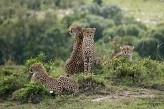Cheetah Lookout (Ian.Kate.Bruce's Wildlife) Tags: cheetah acinonyxjubatus bigcats felidae mammal wildlife nature ianbruce katebruce masaimara kenya africa