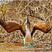 Shoulder Shrug (BenMeiPhotos) Tags: animals nature galapagos galapagosislands travel vacation