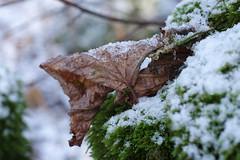 Üksik leht (Jaan Keinaste) Tags: pentax k3 pentaxk3 eesti estonia loodus nature lehmjatammik puu tree leht leaf lumi snow smcpentaxamacro2850