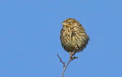 Corn Bunting (Miliaria calandra). (Bob Eade) Tags: cornbunting miliariacalandra bird avian bunting wildlife winter southdownsnationalpark seaford sussex eastsussex