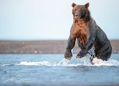 Pouncing... (DTT67) Tags: bear nature animal alaska canon fishing wildlife hunting grizzlybear coastalbrownbear canon1dxmkii lakeclark