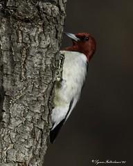 2I1A7399a (lfalterbauer) Tags: redheadedwoodpecker nature wildlife canon 7dmarkii avian ornithology photography photographer camera dslr digital adobe lightroom tree hickory bark