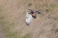 Short-eared Owl (KHR Images) Tags: shortearedowl asioflammeus seo wild bird birdofprey hunting flying cambridgeshire fens wildlife nature nikon d500 kevinrobson khrimages