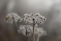 winter impressions (dejan slavkovich) Tags: winter flower frost outside mist fog bokeh