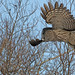 Great Gray Owl...#12.. the take off... (Guy Lichter Photography - 5.5M views Thank you) Tags: canada bird birds animal animals canon wildlife manitoba owl greatgrayowl owls 5d3 explore