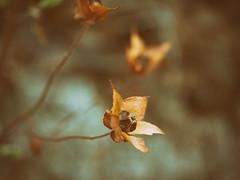 In focus (jantoniojess) Tags: flores flor flower flowers bokehwithflowers bokeh panasoniclumixgx80 naturaleza nature floressecas macrofotografía macro