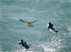 The curious kestrel ! 😉 (Armelle85) Tags: extérieur nature mer océan eau animal oiseau fauconcrécerelle planchiste personne surfeur la question du festion