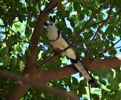 Costa Rica. Guanacaste. Hotel Rui Guanacaste. Blue jay. (Anne & David (Use Albums)) Tags: costarica rui gunacaste iguanas birds fun hotelguanacaste allinclusive hot