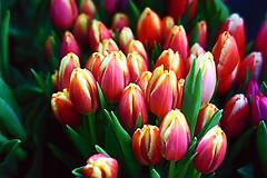 Multicolor tulips (Fnikos) Tags: flower flor fiore tulip tulipan leaf leaves nature naturaleza natura natur color colour colores colours colors multicolor green pink red orange purple dark light shadow shadows dof depth depthoffield outside outdoor