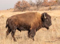 American bison (Bison bison) (Lindell Dillon) Tags: bison buffalo wildlife nature oklahoma wildoklahoma wichitamountains