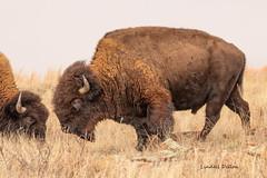 Official Oklahoma state animal (Lindell Dillon) Tags: buffalo buffal americanbison bison wildlife nature oklahoma wildoklahoma wichitamountains