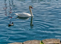 Lake Eola (eyedocal) Tags: florida orlando water lake swan birds lakeeola