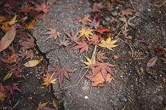 葉 (fumi*23) Tags: ilce7rm3 sony street sel55f18z emount 55mm sonnartfe55mmf18za sonnar a7r3 alley leaf leaves plant osaka 葉 植物 大阪 ソニー 路地 紅葉
