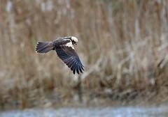 Marsh Harrier (Whistling Joe) Tags: whistlingjoe canoneos5dmkiv canonef600mmf4lismkiiusm canonefextender14xiii rspb minsmere marsh harrier