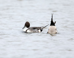 Pintail (Whistling Joe) Tags: whistlingjoe canoneos5dmkiv canonef600mmf4lismkiiusm canonefextender14xiii rspb minsmere pintail duck