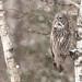 Great Gray Owl [explored] (DaveSticker) Tags: bird saxzimbog owlgreatgray location zimroad minnesota