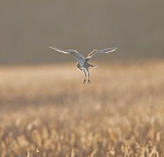 Barn Owl (Whistling Joe) Tags: whistlingjoe canoneos5dmkiv canonef600mmf4lismkiiusm canonefextender14xiii rspb minsmere barn owl